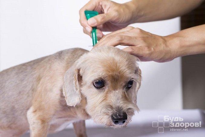 Профилактика появления блох у домашних животных