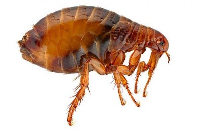 Блохи – это паразиты, относящиеся к отряду кровососущих насекомых