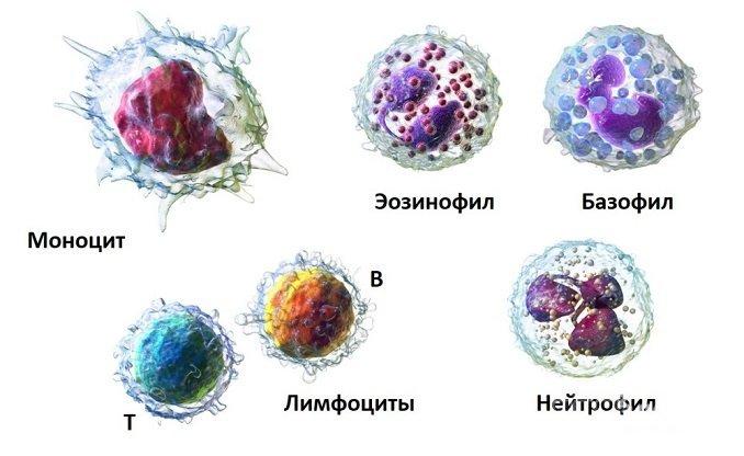 Существует пять видов лейкоцитов