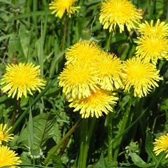 Одуванчик лекарственный - полезные свойства растения