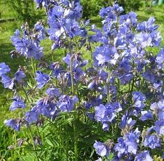 Голубая трава растение
